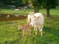 Die Mutterkühe mit den Kälbern grasen auf der Weide am Hof